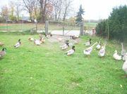 Sachsenenten - Enten zum