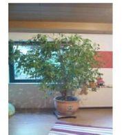 Ficus Benjamina Birkenfeige fast 1