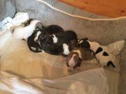 Reinrassige Chihuahua-Welpen suchen ein Zuhause