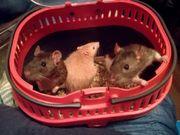 Rattenböcke