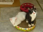 10 fitte kätzchen katzenkinder mobil