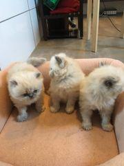 Persische Kätzchen Bluepoint