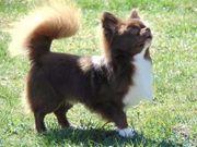 Champion Chihuahua Deckrüde
