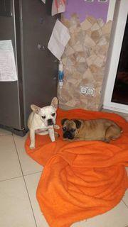 Französische Bulldoggen Rüde