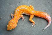 Leopardgeckos holdbacks