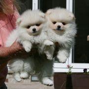 creme Pomeranian Welpen mit Papieren