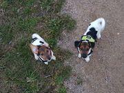 Zwei Jack Russell Terrier Hündin