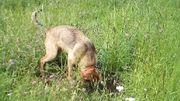 Schäferhund-Mischling zu verkaufen