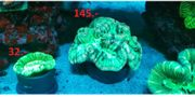 Korallen Meerwasser SPS LPS Trachyphyllia