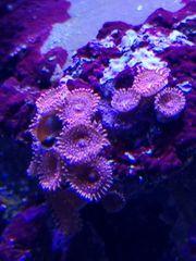 Meerwasser Zoa Nightmare Krustenanemone