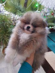 Pomeranian Exklusive Farbe