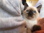 Siam Sealpoint Kitten reinrassig