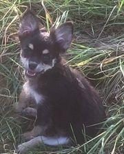 Langhaar Chihuahua Welpe weiblich