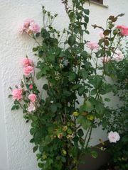 Rosa StrauchRosen Samen