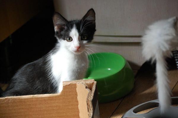 Zauberhafte Kitten - Steinmauern - Europäisch KurzhaarjungDie am 30.4.2018 geborenen Katzenkinder sind nun abgabebereit. Sie sind frei von Parasiten( Befund vorliegend),ungeimpft, wachsen mit Hunde auf,werden B.A.R.F. ernährt, sind gesund und putzmunter und sind bereit für - Steinmauern