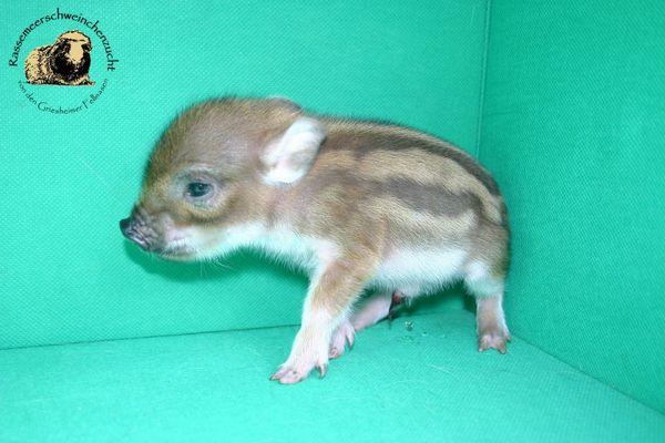 Minischweine von seriöser » Kleintiere
