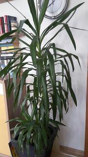 grosse zimmerpflanzen 2 yukka palmen