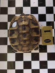 Kleine Griechische Landschildkröten abzugeben