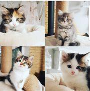 MaineCoon Mix Kitten