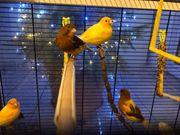 4 Junge Kanarienvögel