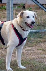 Rona - katzenverträglicher Labrador-Mix Hündin