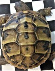 Griechische Landschildkröten thb - Ursprung Bulgarien