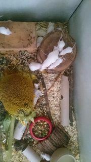 Junge Mäuse , pro