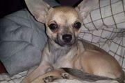 TOP-Chihuahua