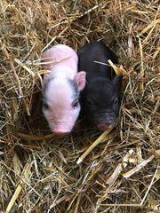 Mini Schweine zu verkaufen