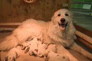 Herdenschutzhund Pyrenäenberghunde aus liebevoller Hobbyzucht