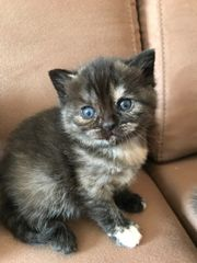 BKH Kitten - Weibchen