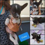 Chihuahua Mix Welpen suchen Ihr