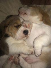 Beagle Welpen 5 Wochen FCI