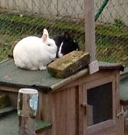 Kaninchen Flocke und Paula Traumpäärchen