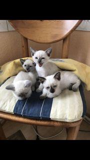 Siam Kitten/ Kätzchen
