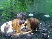 aquarium schnecken