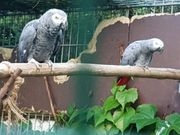 Nehme Papageien und
