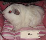 Cuy Bock (Riesenmeerschweinchen)