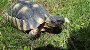 Biete Breitrandschildkröte - Männchen