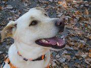 BUDDY S10 Labrador Mischling - sportliche