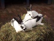 Kaninchen - Riesenschecken von