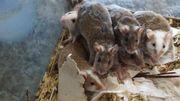 Vielzitzen Mäuse in