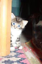 Süße Maine Coon Mix Kitten