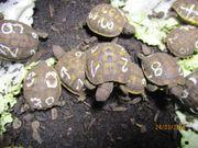Griechische Landschildkröten Thh
