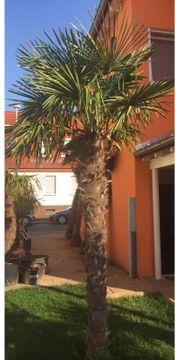 Schöne Hanfpalme - Trachycarpus Fortunei