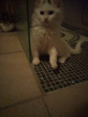 Wunderschöne Traum Kitten--