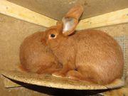 Rote Neuseeländer Jungtiere Kaninchen Rammler