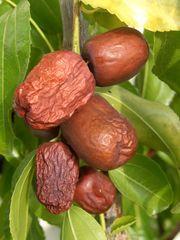 Exotenpflanzen Raritäten Frucht Zier für