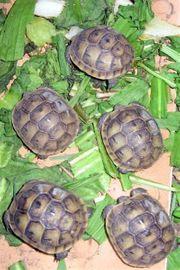 Maurische Schildkröten
