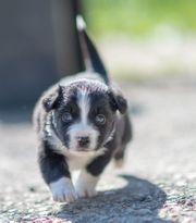 Mini-Aussie Rüden 10 Wochen alt